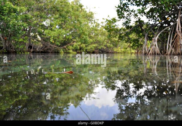 Caribian Mangroven Stockbild