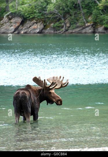 Elch in einem See hautnah Stockbild