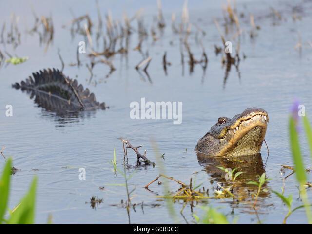 Großen Bull männliche Alligator fordert für einen Kumpel Stockbild