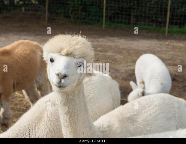 neugierig Alpakas Essen grass Stockbild