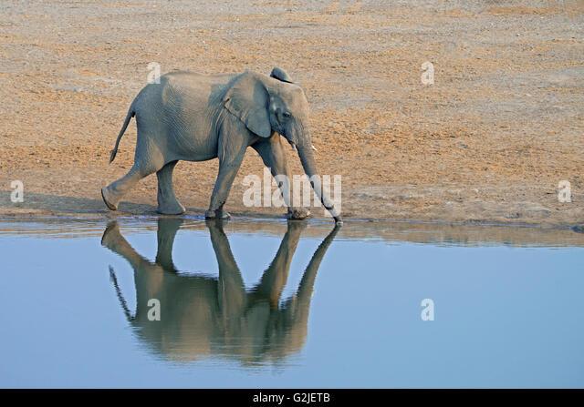 Afrikanischer Elefant (Loxodonta Africana) Familie kommen, um ein Wasserloch zu trinken, Etosha Nationalpark, Namibia, Stockbild