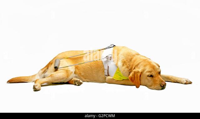 BLINDENHUND Guide Dogs for the Blind Stockbild