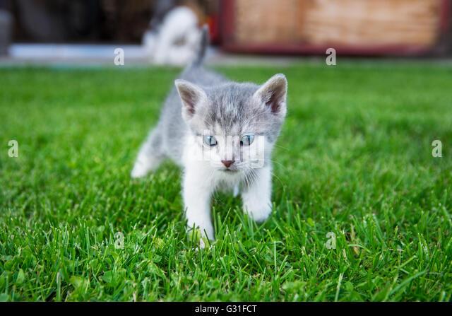 Neugierige Katze Spaziergänge im Rasen Stockbild