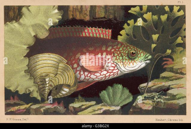 """Eine """"alte"""" Lippfische.         Datum: 1856 Stockbild"""