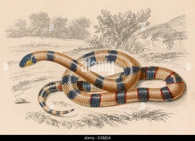 Lateinischer Name: Elaps Corallinus Stockbild