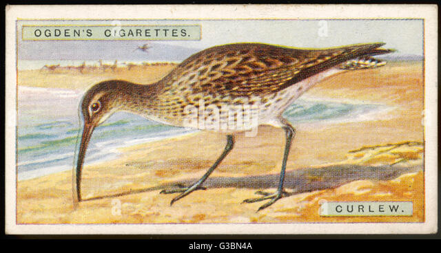 Brachvogel - lateinischer Name: Numenius Arquata Datum: 1915 Stockbild