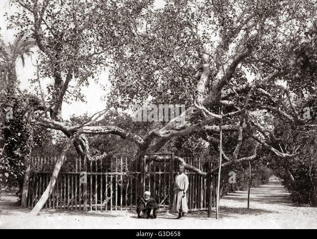 Alten Olivenbaum in den Garten Gethsamane 1800er Jahren.     Datum: 1800 s Stockbild