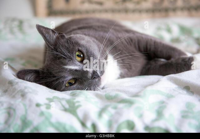 Verlegung der neugierige Katze auf dem Bett ausgestreckt Stockbild