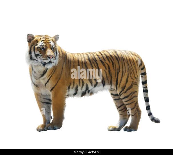 Digitale Malerei von Tiger isoliert auf weiss Stockbild