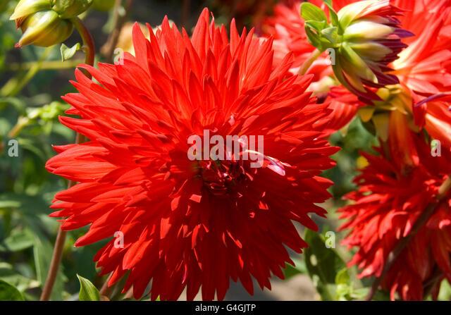Schöne Herbstblumen - Dahlia Aster-Familie. Stockbild