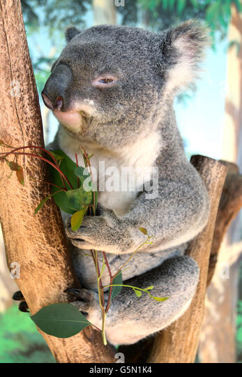 Close up Portrait of Australian native Tier verlässt Koala auf einem Baum essen Eukalyptus Stockbild