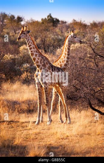 Zwei Giraffen in der Savanne, in Namibia, Afrika Stockbild