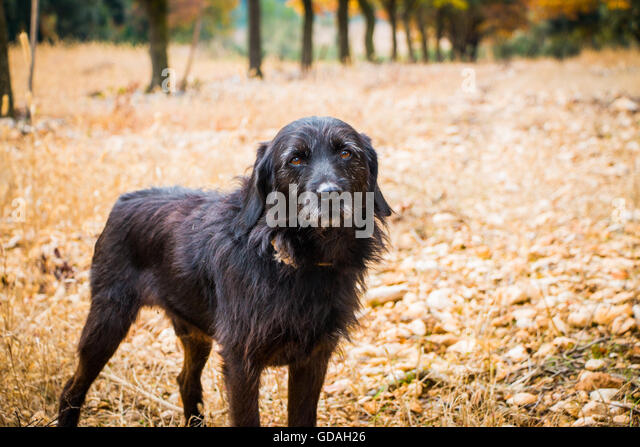 truffle dog france stockfotos truffle dog france bilder alamy. Black Bedroom Furniture Sets. Home Design Ideas