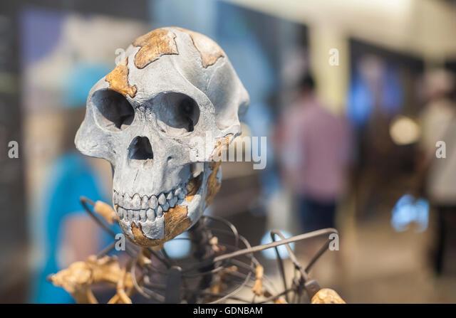 Lucy Skelett, ein Weibchen der Hominini Gattung Australopithecus afarensis Stockbild