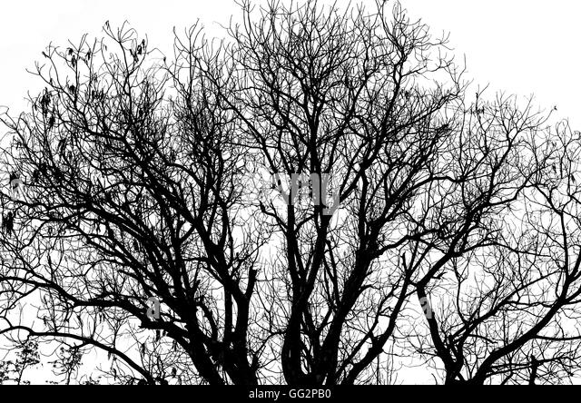 oak tree silhouette white background stockfotos oak tree silhouette white background bilder. Black Bedroom Furniture Sets. Home Design Ideas