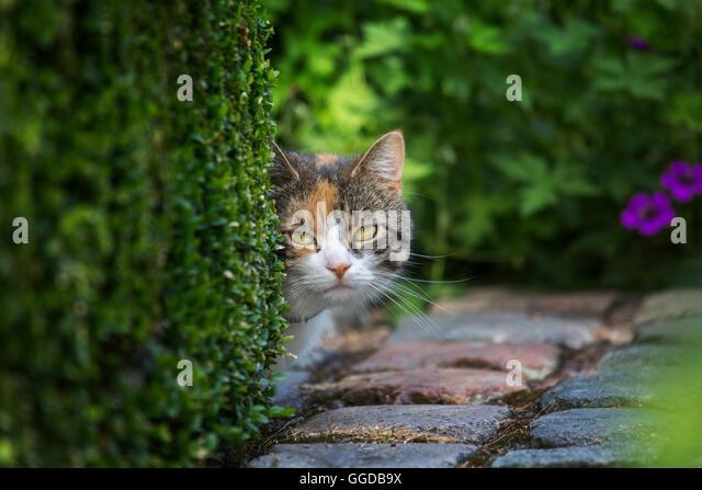Neugierig, aber schüchtern Hauskatze sucht hinter Hecke im Garten im Sommer Stockbild