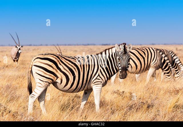 Gruppe von Zebras und Oryx-Antilopen im Etosha Nationalpark in Namibia, Konzept für Reisen in Afrika und Safari Stockbild