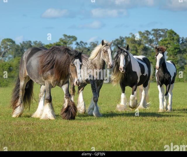 Neugierig Gypsy Vanner Pferde Stuten und Fohlen in öffnen Sie grüne Weide Stockbild