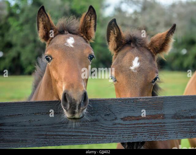 Paar neugierig Warmblut Fohlen über Zaun Stockbild
