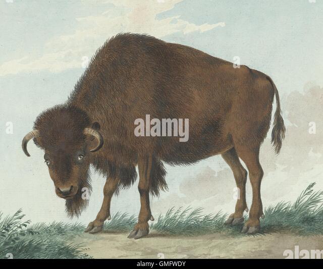 Bison, durch Isaac van Haastert, 1808, niederländische Aquarellmalerei. (BSLOC_2016_1_281) Stockbild