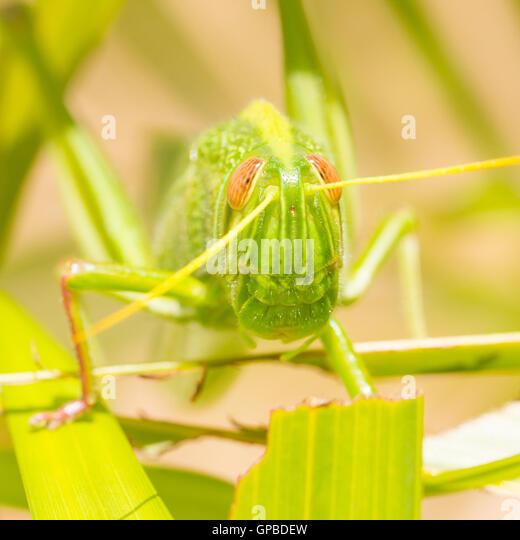 Großen Heuschrecke, Essen grass Stockbild