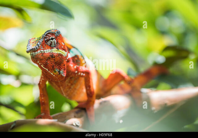Roten Pantherchamäleon (Furcifer Pardalis), endemisch in Madagaskar, Afrika Stockbild