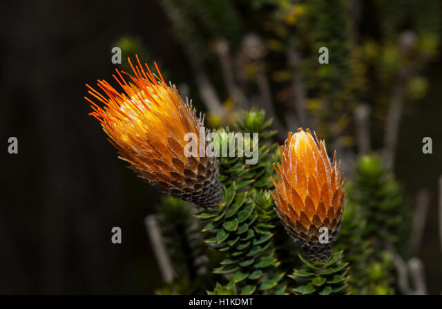 Endemische Chuquiraga Blume, Chuquiraga Jussieui, Cotopaxi-Nationalpark in Ecuador Stockbild
