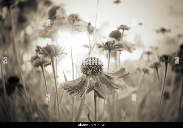 Blumen im Garten mit selektiven Fokus im Sepia-Ton. Ruhigen Sommer-Natur-Szene, Nahaufnahme der Blüte im Sonnenlicht. Stockbild