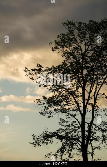 Abendhimmel und Silhouette des Baumes. Stockbild