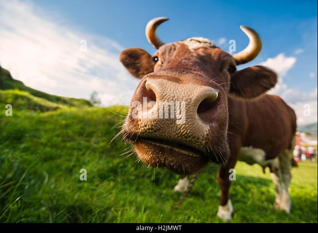 Eine neugierige braune Kuh vor dem blauen Himmel Hintergrund Stockbild