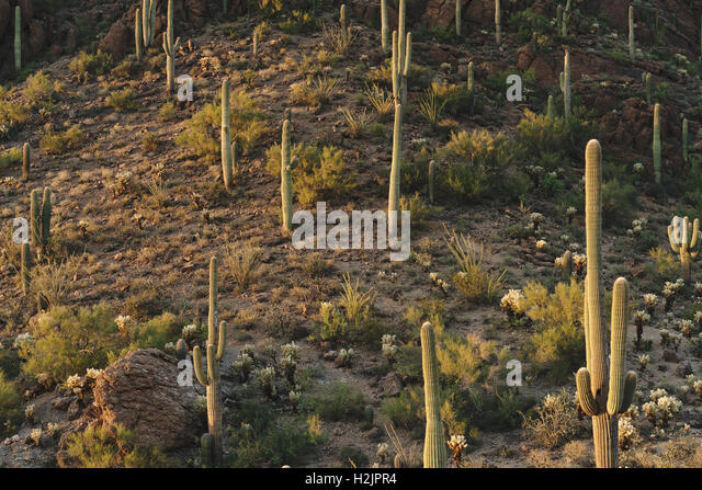Saguaro Kakteen im Saguaro-Nationalpark befindet sich in der Nähe von Tucson, Arizona. Stockbild