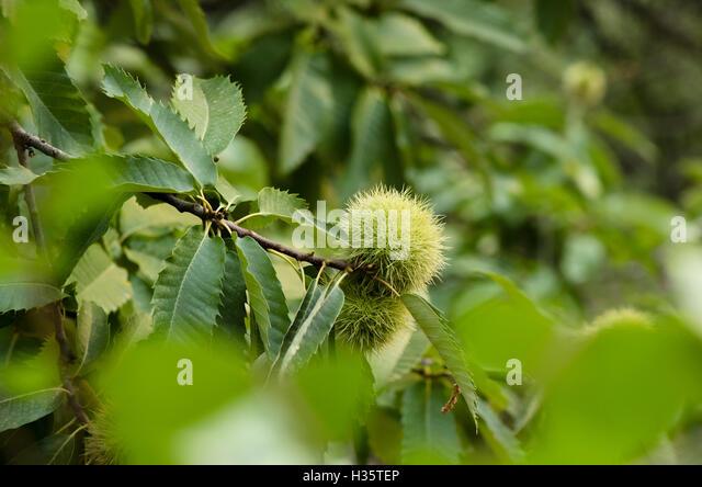 Castanea sativa sweet spanish chestnut stockfotos - Baum auf spanisch ...