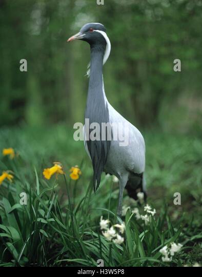 Alte Jungfer Kran, Menschenaffen Jungfrau Vögel, Vogel, Krane, Kran, Kran Vögel, Kranichvogel, seltene, Stockbild
