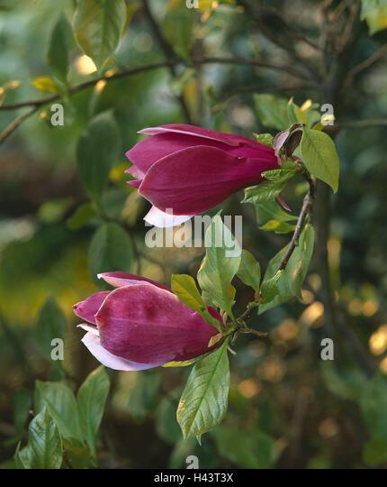 magnolia leaves stockfotos magnolia leaves bilder alamy. Black Bedroom Furniture Sets. Home Design Ideas