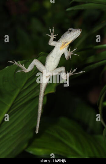 Karibik-Anolis, Anolis roquet, von unten, Stockbild