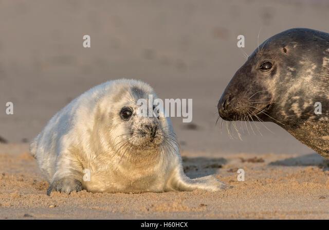 Grey Seal Pup mit neugierigen Erwachsenen Stockbild