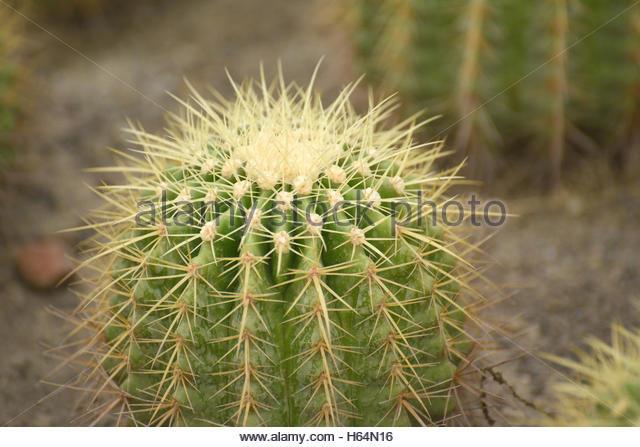 cactus market cactus stockfotos cactus market cactus. Black Bedroom Furniture Sets. Home Design Ideas