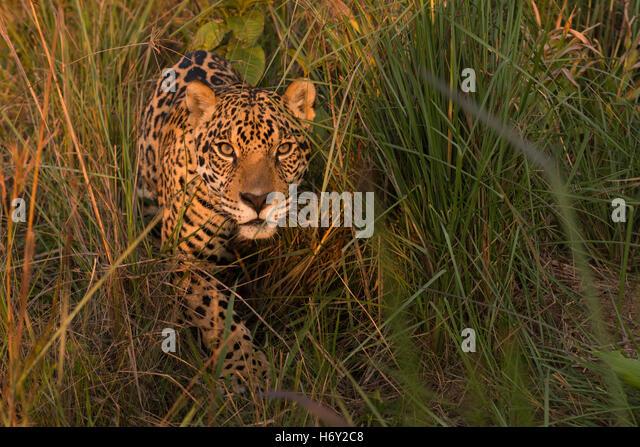 Ein Jaguar aus der Vegetation im Grasland der zentralen Brasilien Stockbild