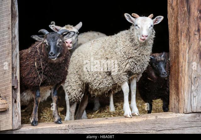 Hausschafe in einem Schafstall, Ontario, Kanada. Stockbild