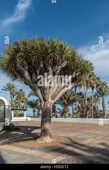Kanarische Inseln-Drachenbaum Stockbild