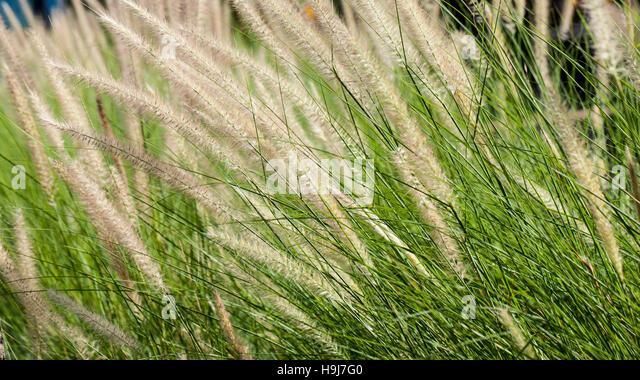 Grass während blühend am Sonnenuntergang. Closeup Aufnahme Stockbild