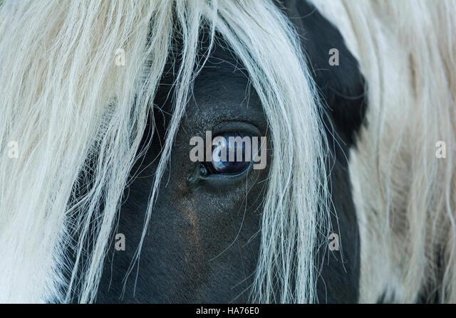 Die starren Auge ein Reisender Pferd mit langer Mähne, schauen neugierig oder vorsichtig Stockbild