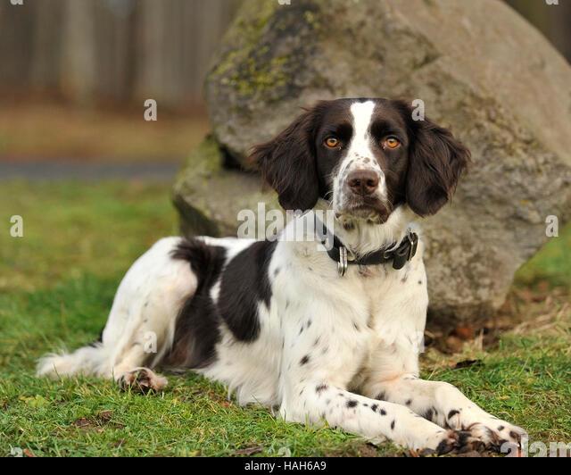 Deutsche wachtelhund Stockbild