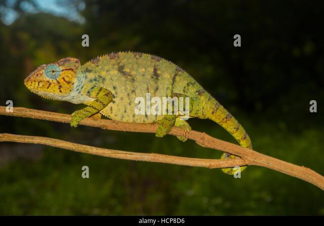 Madagassische riesige Chamäleon oder Oustalets Chamäleon (Furcifer Oustaleti) auf Ast, Weiblich, schwanger, Stockbild