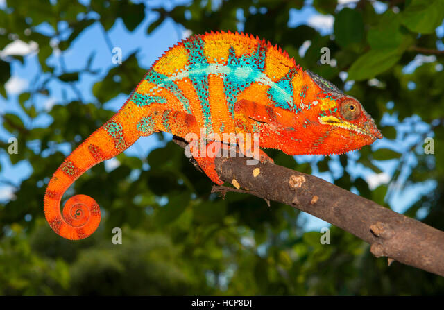 Pantherchamäleon (Furcifer Pardalis), Männlich, zwischen Ambilobe und Sirama, nordwestlichen Madagaskar Stockbild