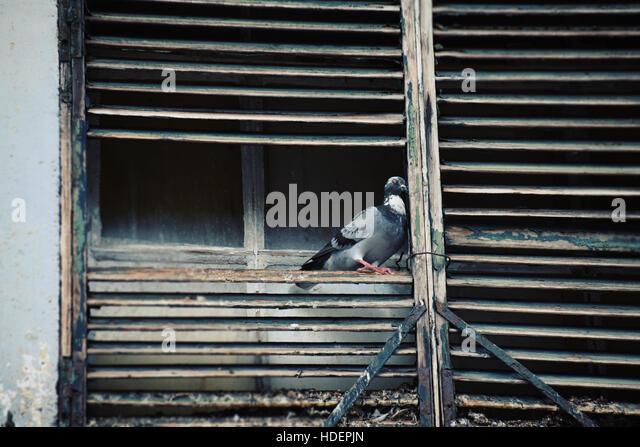 Taube auf Holzlatten Stockbild