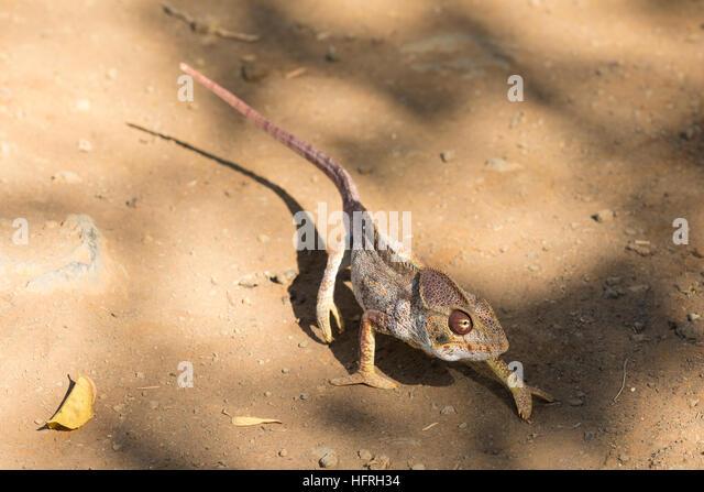 Endemische madagassische riesige Chamäleon oder Oustalets Chamäleon (Furcifer Oustaleti), sehr große Stockbild
