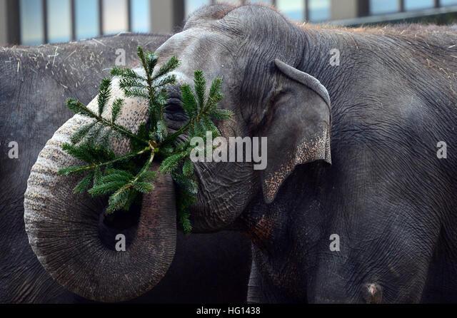 Berlin, Deutschland. 3. Januar 2017. Die Elefanten werden immer verworfen Weihnachtsbäume diente ihnen als Stockbild