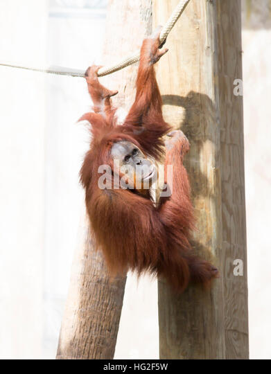 Orang-Utan hängen an einem Seil Stockbild