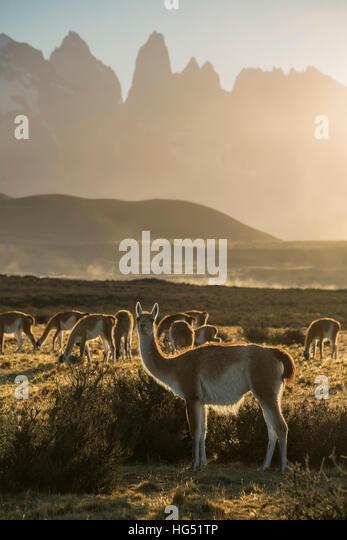 Das Guanako, Lama Guanicoe, ist ein ursprünglich aus den Bergregionen Südamerikas Kameliden. Man findet Stockbild